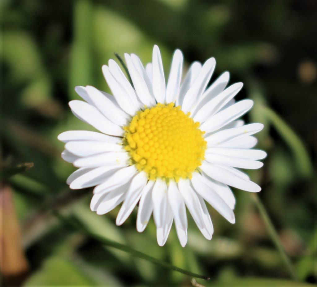 The Simple Daisy by James Lyle