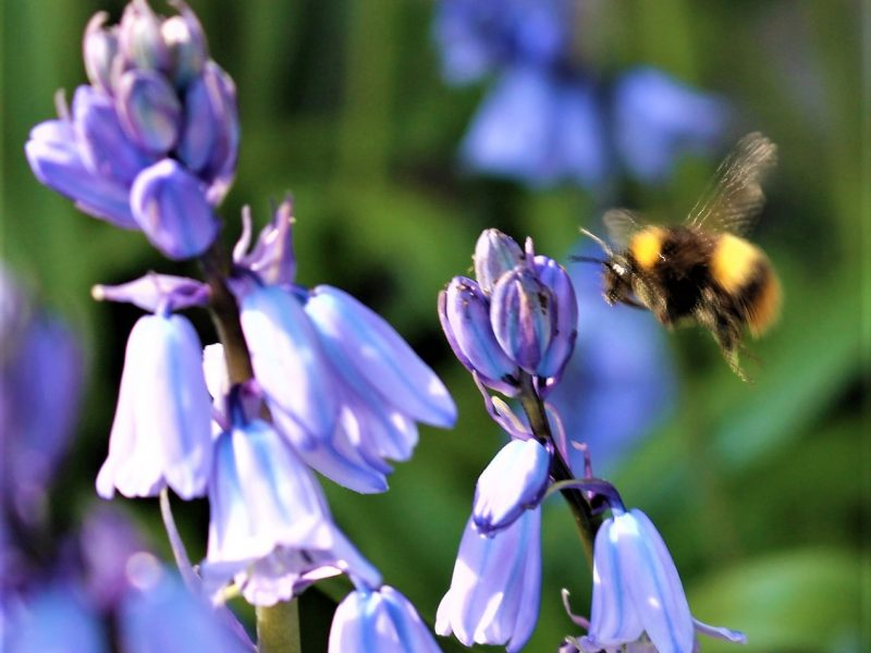 Bright Bluebells and Busy Bees