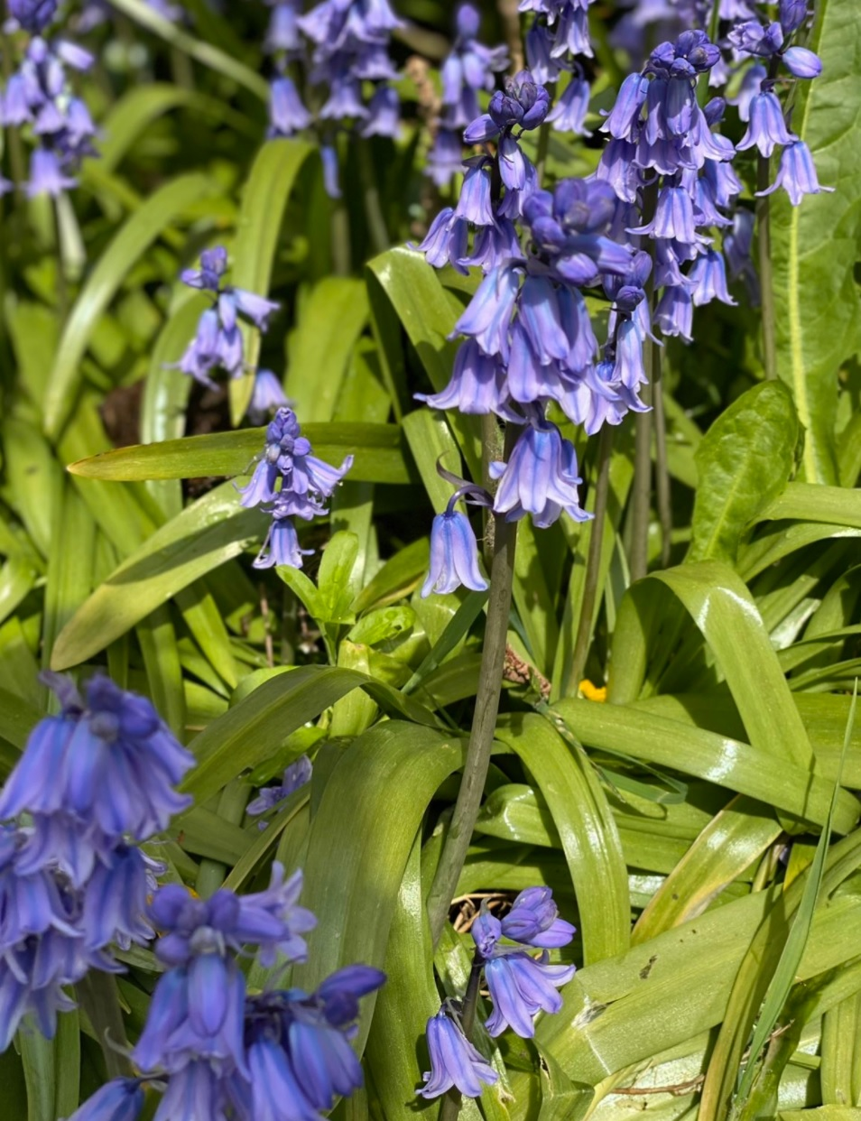 Bluebells: A year lost to Covid